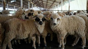 lambs_sheep_turcana_2