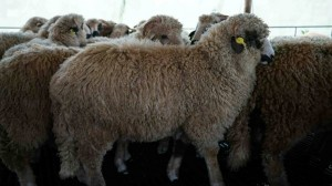 lambs_sheep_turcana_4