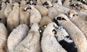 popular sheep breeds