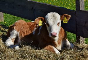 how to identify cattle breeds
