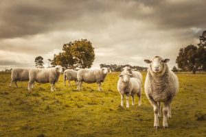 5 Reasons to choose Romania for Sheep Import