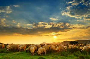 Romanian sheep grazing on a green meadow at sunset